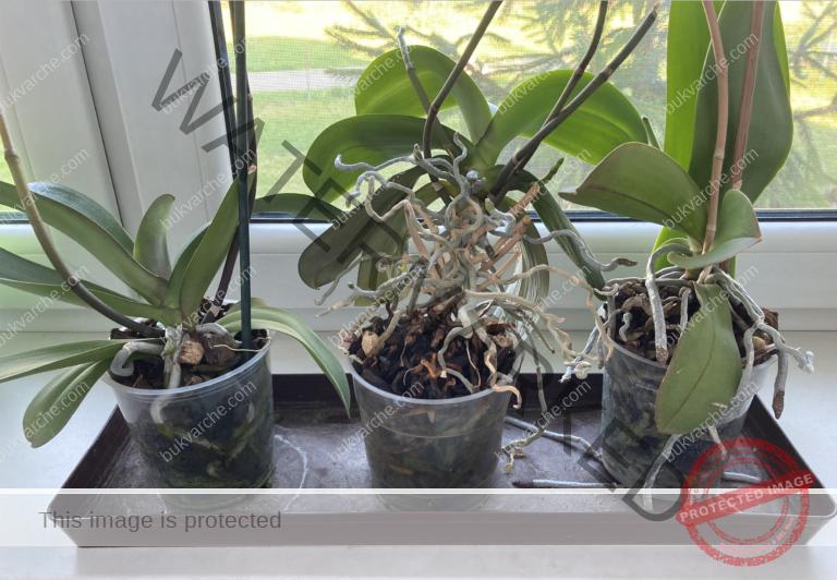 Подхранване на орхидеята с оризова вода за обилен цъфтеж