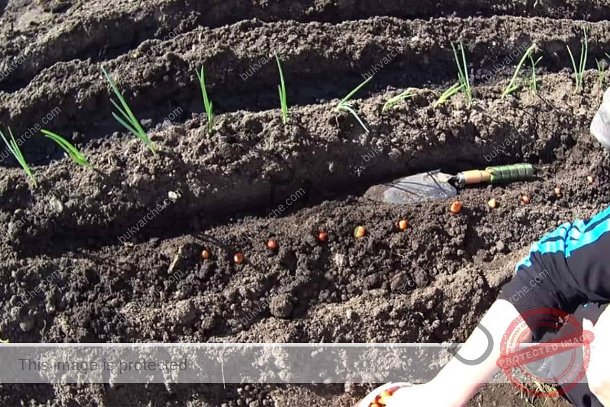 Засаждане на лук - с този метод получавате богата и здрава реколта