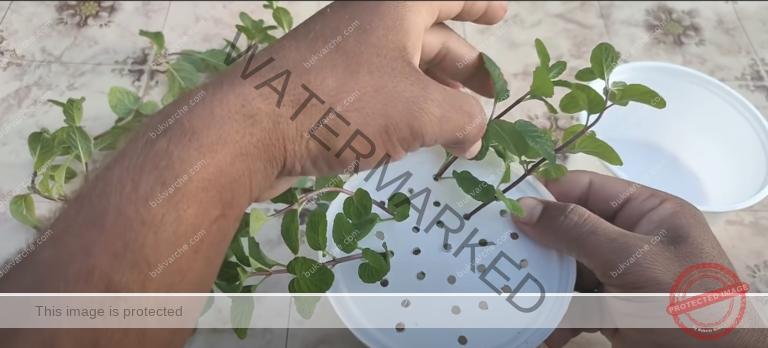 Отглеждане на подправки във вода: лесен и бърз начин