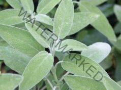 Градински чай при настинка, облекчава симптомите бързо