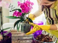 Подхранване на орхидеите с домашен тор за обилен цъфтеж