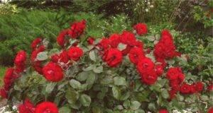 Размножаване на рози: Ето колко лесно е да се вкорени роза