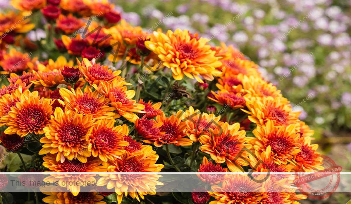 Хризантемата е талисман за дома, който привлича щастието