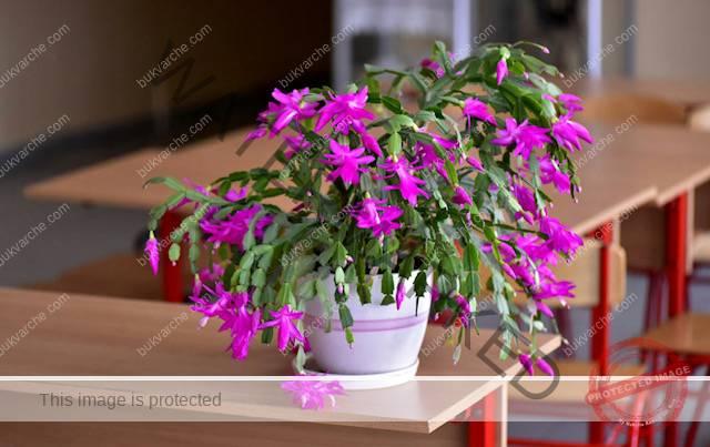 Грижа за коледния кактус, която гарантира обилен цъфтеж