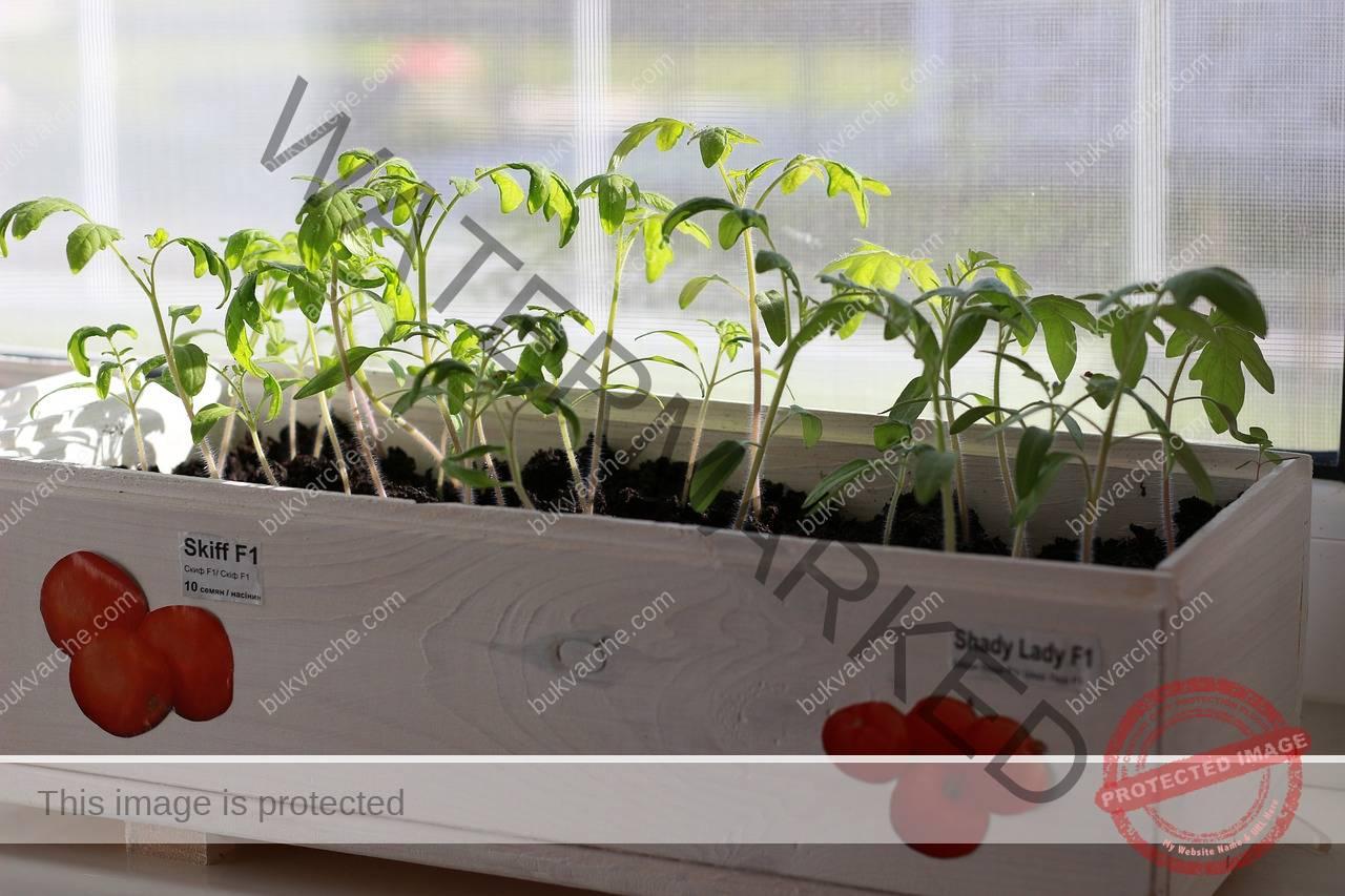 Ранна реколта от домати. Ето какво трябва да направите през есента