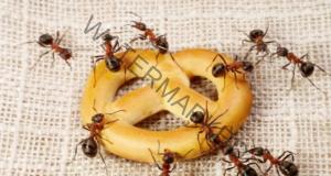 Домашно средство срещу мравки, което действа незабавно