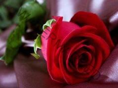 Лесно вкореняване на роза от букет. Разберете как!