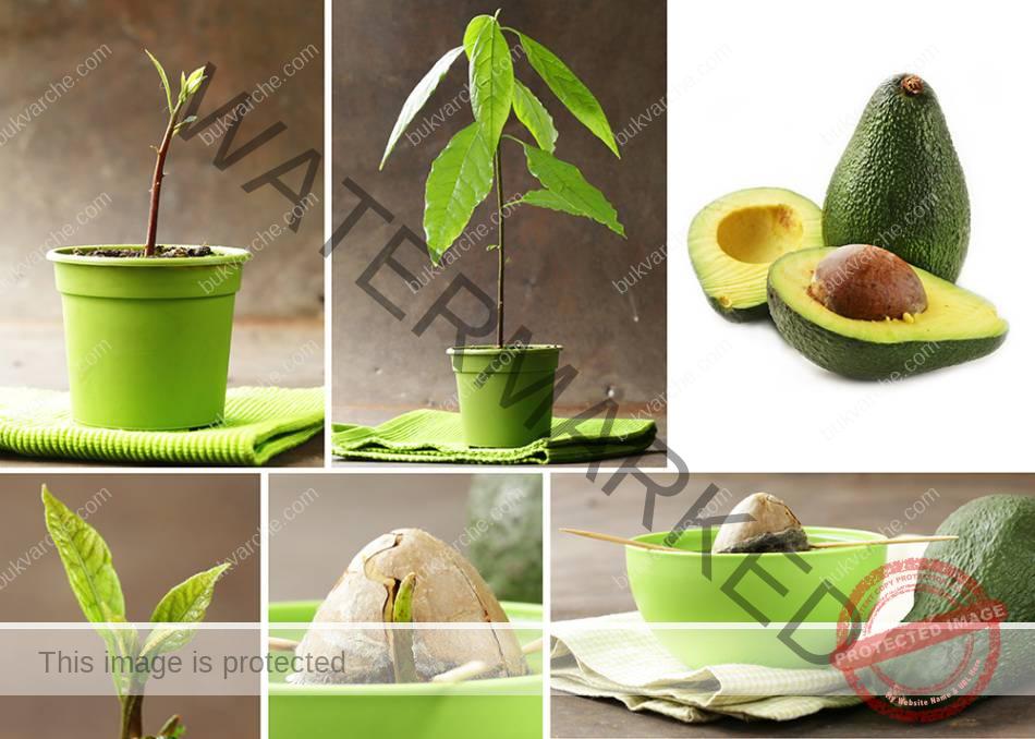 Как да отгледате авокадо и как да се грижите за него?
