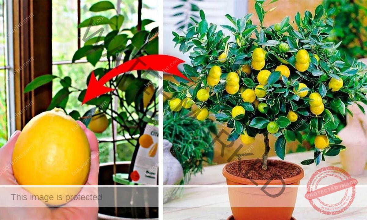 Засаждане на лимоново дръвче от семка. Лесно е!