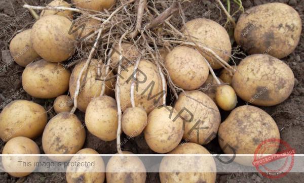 Подхранване на картофите за богата и здрава реколта
