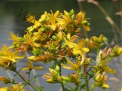 Лек при кожни проблеми с жълт кантарион. Рецепта