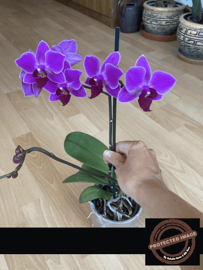 Тор за орхидеи, който върши чудеса. Буен цъфтеж