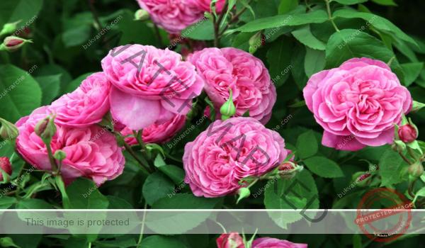 Вкореняване на рози в пясък лесен и ефикасен метод