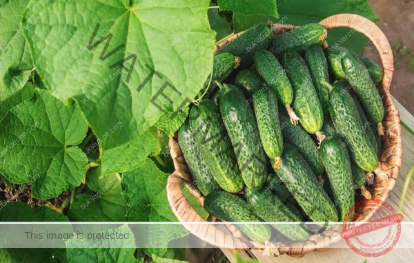 Домашен тор за краставици, който гарантира ранна реколта