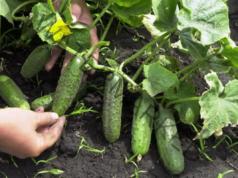 Естествени торове за краставици, които да използвате
