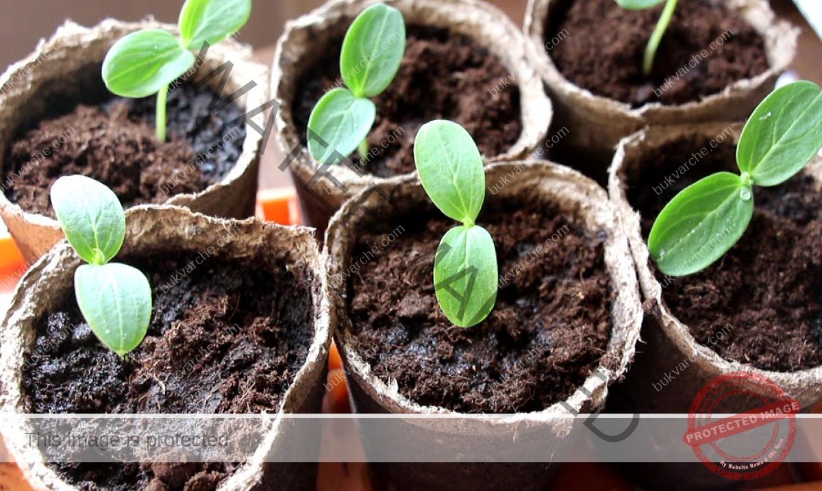 Естествен тор за краставици за здрав разсад и богата реколта