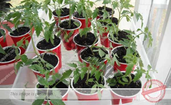 За здрав разсад е необходимо да подготвите почвата правилно