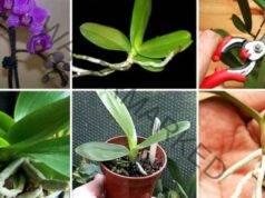 """Как се размножава орхидея от """"бебе"""" - полезни съвети"""