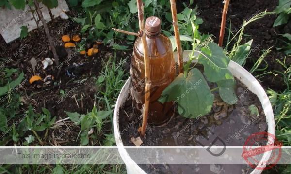 Краставици в кофа на балкона за добра и здрава реколта