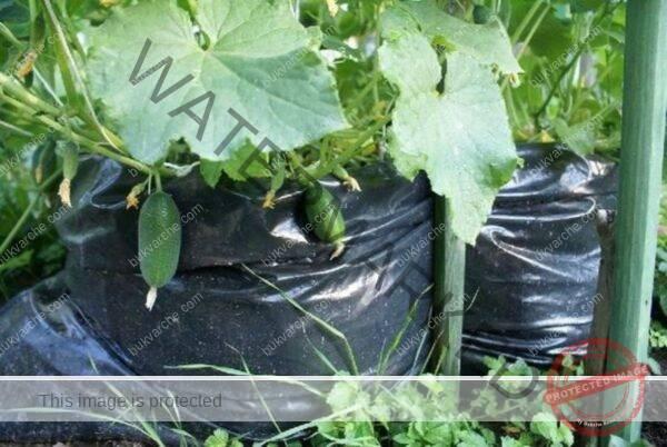 Краставици в чувал - иновативен начин на отглеждане