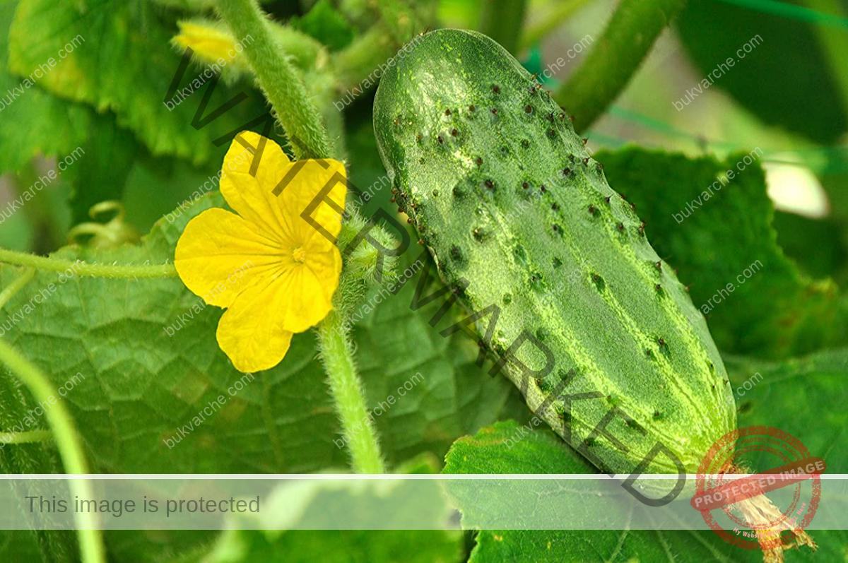 Краставици под найлон: интересен и удобен начин за отглеждане