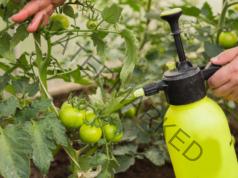 Народни рецепти срещу фитофтора по доматите