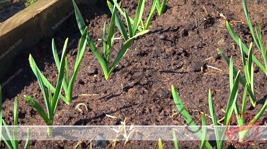 Подхранване на чесъна през пролетта за богат реколта
