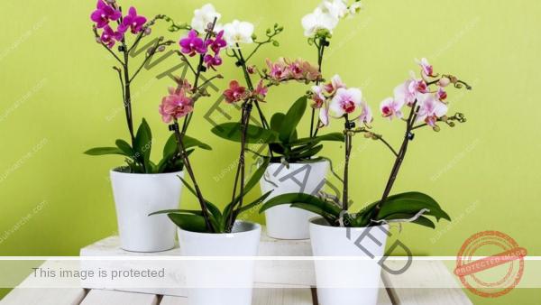 Пожълтели листа на орхидеята - ето защо се появяват