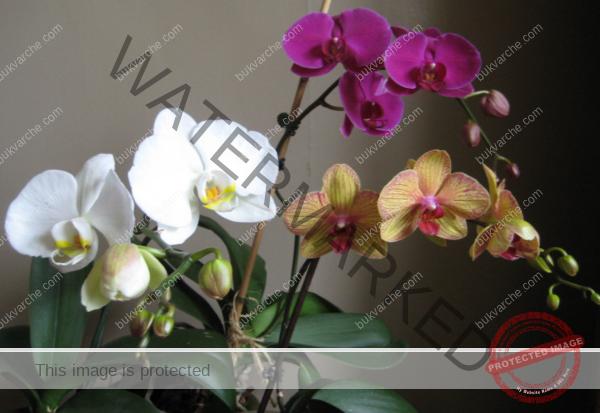 Чеснова вода за орхидеята - по-добра от торовете от магазина