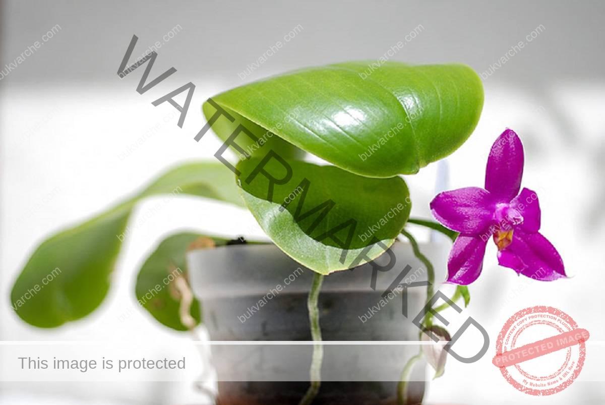 Правилна грижа за орхидеята, за да цъфти буйно