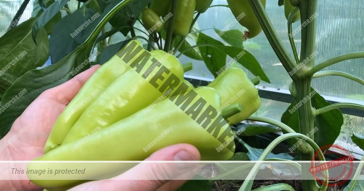 Грижи за пипера за богата и ранна реколта. Съвети