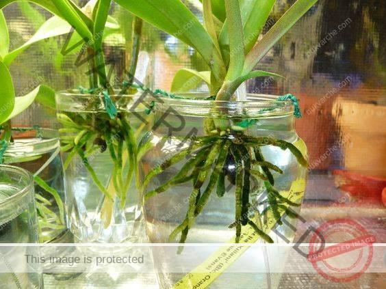 Орхидея във вода - правила и съвети за отглеждане