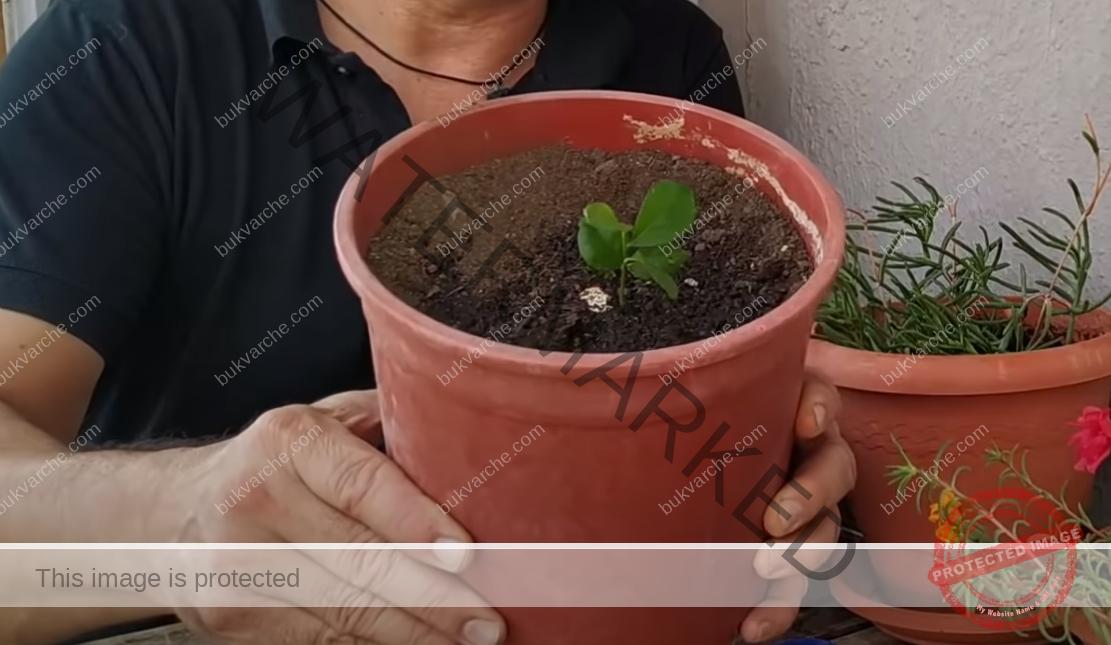 Отглеждане на лимоново дърво от семка - полезен трик