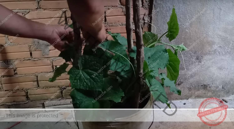 Краставици в пластмасови кофи: практичен метод за отглеждане