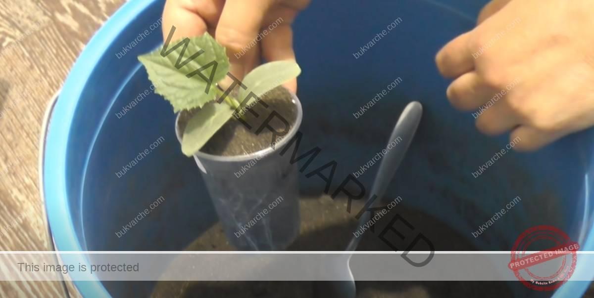 Разсад от краставици в чашки за ранна и здрава реколта