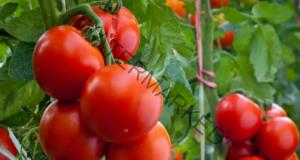 Домашен разтвор за домати за 10 пъти по-голяма реколта
