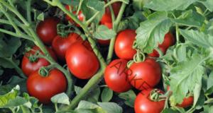 Домашен тор за доматите за здрава и богата реколта