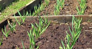 Здрава реколта от лук - съвети при засаждането