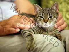 Котката ляга върху човек, защото се чувства по сигурна