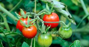 Мая за доматите - растат силни и не страдат от болести