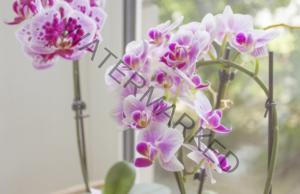 Накарайте орхидеята да цъфне - полезни съвети