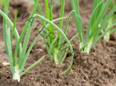 Отглеждане на лук - полезни съвети при подхранването