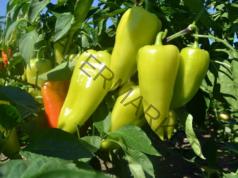 Подрязване на пипера за богата реколта от чушки