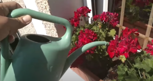Подхранване на цъфтящи растения в градината или в саксията