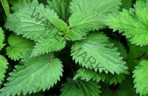 Полезни свойства на копривата за здравето и в градината