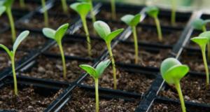 Поникване на семената за няколко часа - лесен начин