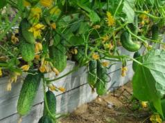 Правилно подхранване на краставиците за бърз растеж