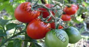 Правилно поливане на доматите за богата реколта