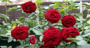 Присаждане на рози - лесен метод, с който всеки ще се справи