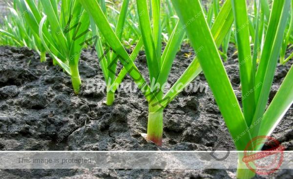 Пролетно подхранване на чесъна за оформяне на големи глави